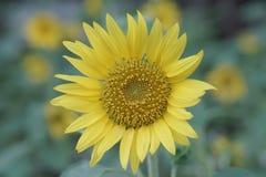 Den gula solrosen royaltyfria bilder