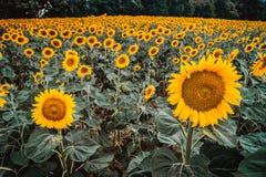 Den gula solrosväxten med blå himmel Arkivfoton