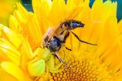 Den gula spindelkrabban fångade ett stort hoverfly royaltyfri fotografi