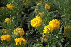 Den gula Tagetesen blommar på sommargräsmattan Arkivfoto