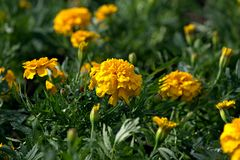 Den gula Tagetesen blommar på sommargräsmattan Fotografering för Bildbyråer