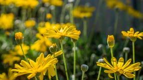 Den gula trädgården Arkivbild