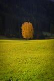 Gul tree på en lawn Arkivfoto