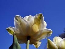 Den gula tulpan i en vår parkerar mot en blå himmel på en solig eftermiddag arkivbild