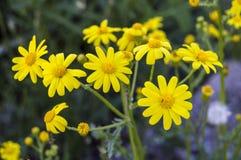 Den gula tusenskönan blommar, trottoarer, dekorativa blommor, naturliga kulöra blommor, dekorativa blommor för staden, blommor me Royaltyfri Bild