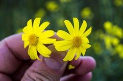 Den gula tusenskönan blommar, trottoarer, dekorativa blommor, naturliga kulöra blommor, dekorativa blommor för staden, blommor me Royaltyfria Foton
