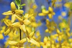 Den gula våren blommar forsythia Arkivfoto