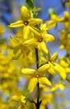 Den gula våren blommar forsythia Arkivfoton