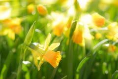 Den gula våren blommar pingstliljapåskliljor med ljusa solstrålar Arkivbild