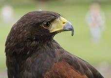 Den guld- örnen håller ögonen på för rov arkivfoton