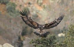 Den guld- örnen med spridning påskyndar landning Fotografering för Bildbyråer