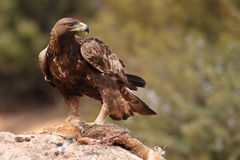 Den guld- örnen på vaggar Arkivfoto