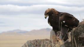 Den guld- örnen skjuta i höjden stock video