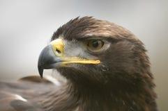Den guld- Eagle Arkivfoto