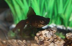 Den guld- fisken med vaggar royaltyfria bilder