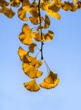 Den guld- ginkgoen lämnar mot blåttskyen Royaltyfri Foto