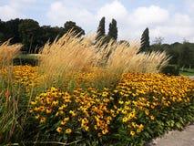Den guld- gula Rudbeckiablomman vet också som svarta synade Susan, eller Coneflower i ett härligt parkerar arkivfoton