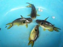Den guld- havskatten, husdjur ger bra lycka Arkivfoton