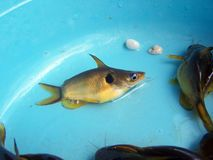 Den guld- havskatten, husdjur ger bra lycka Royaltyfri Bild