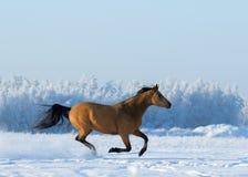 Den guld- kastanjebruna hästen galopperar över snöig fält Fotografering för Bildbyråer
