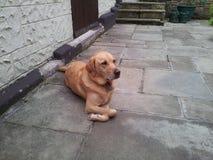 Den guld- labrador med vikt tafsar Royaltyfri Foto