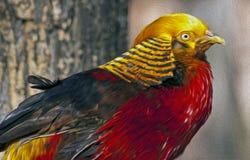 Den guld- pheasanten royaltyfria foton