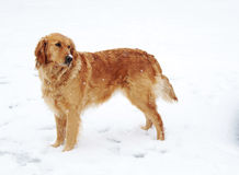 Den guld- retrieveren förföljer i Snow Arkivbilder
