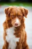 Den guld- retrieverTollerhunden ser in i kameran Royaltyfri Fotografi