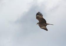 Guld- Eagle-1. Royaltyfri Foto