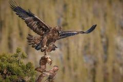 Den guld- örnen tar av Arkivfoton