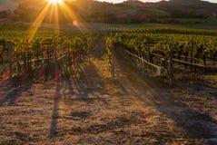 Den guld- solen stiger över en vingård i den Sonoma dalen, solsignalljus tillfogar drama till bilden royaltyfri fotografi