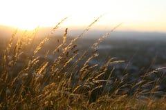 Den guld- solnedgången fångar torrt gräs Royaltyfria Bilder