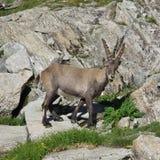 Den gulliga alpina stenbocken behandla som ett barn Fotografering för Bildbyråer