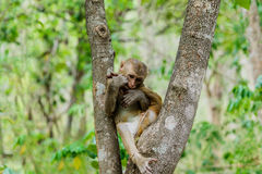 den gulliga apan bor i en naturlig skog Arkivbild