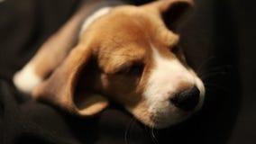 Den gulliga beaglevalpen sover i hans smultronställe lager videofilmer