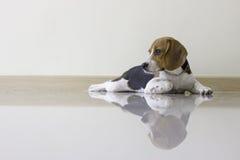 den gulliga beaglevalphunden Arkivfoton