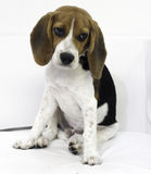 den gulliga beaglevalphunden Arkivbilder
