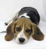 den gulliga beaglevalphunden Royaltyfria Bilder