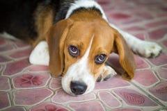 den gulliga beaglevalphunden Royaltyfri Fotografi