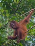 Den gulliga behandla som ett barn-orangutanget sitter på ett träd (Indonesien) Royaltyfri Foto
