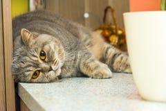Den gulliga brittiska katten ligger på skrivbordet Förtjusande djur avkoppling Royaltyfri Fotografi