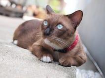 Den gulliga bruna katten lägger ner och stirra till något Royaltyfri Foto