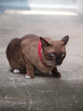 Den gulliga bruna katten lägger ner och stirra till något Fotografering för Bildbyråer