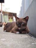 Den gulliga bruna katten lägger ner och stirra till något Arkivbilder