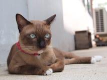 Den gulliga bruna katten lägger ner och stirra till något Arkivfoto