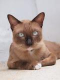 Den gulliga bruna katten lägger ner och stirra till oss Arkivbild