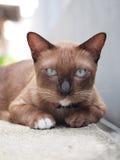 Den gulliga bruna katten lägger ner och stirra till oss Royaltyfria Bilder