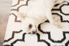 Den gulliga Chihuahuahunden sitter på skandinavisk filtmatta på golvet Inomhus sött hem royaltyfri bild