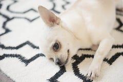 Den gulliga Chihuahuahunden sitter på skandinavisk filtmatta på golvet Inomhus sött hem arkivbilder