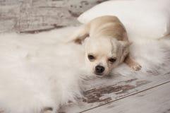 Den gulliga chihuahuahunden sitter på vit matta i rum royaltyfri bild